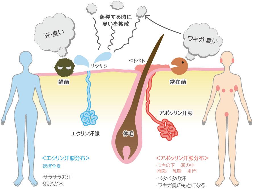 ワキガ・多汗症について ワキガ治療・多汗症治療【横浜中央クリニック】